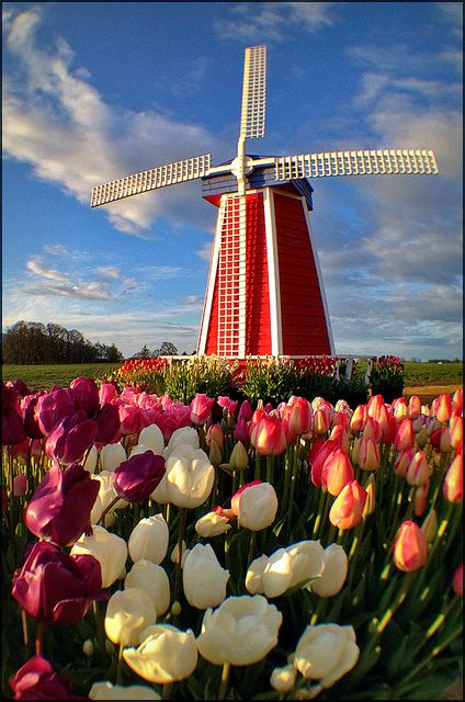 Wooden Shoe Windmill Tulips, Holland