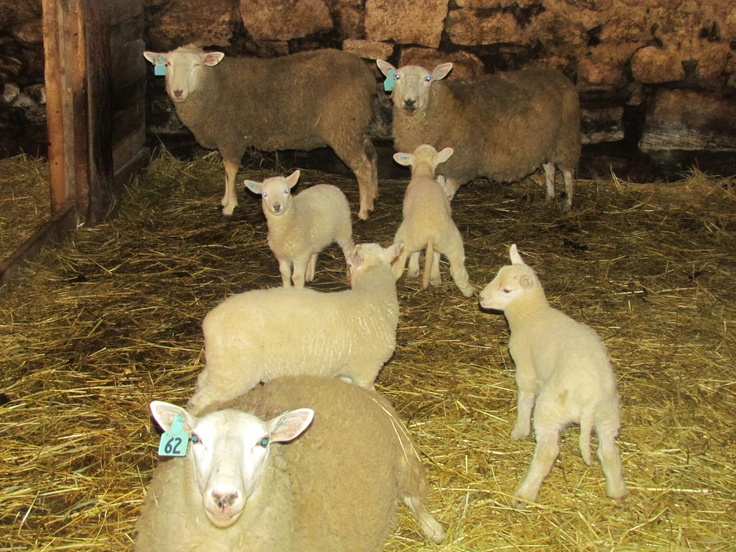 More baby lambs & their moms