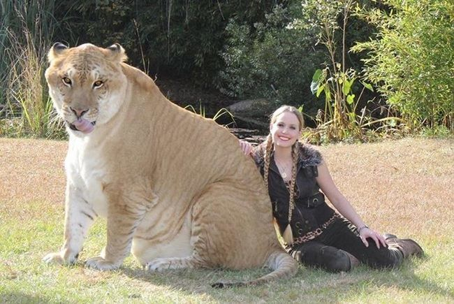 Liger Hercules. While there are legends of Ligers prowling the wilds, they currently only exist in captivity, where they are deliberately bred.