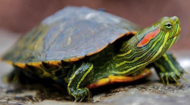 Индивидуальный уход и содержание различныхвидов черепах в домашних условиях.