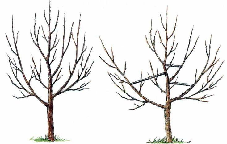 Маленькие хитрости для достижения идеальной формы кроны деревьев | Дача - впрок