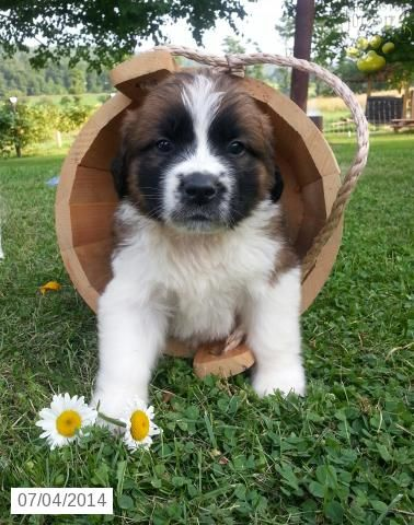 163 best St. Bernard\'s images on Pinterest | Saint bernards, St ...