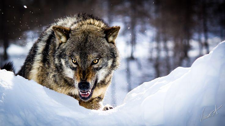 Angry Wolf by GamesOfLight.deviantart.com on @deviantART