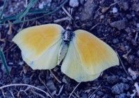 Yellow Butterfly from Greece