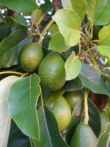 Can an avacado tree grow in Wisconsin?