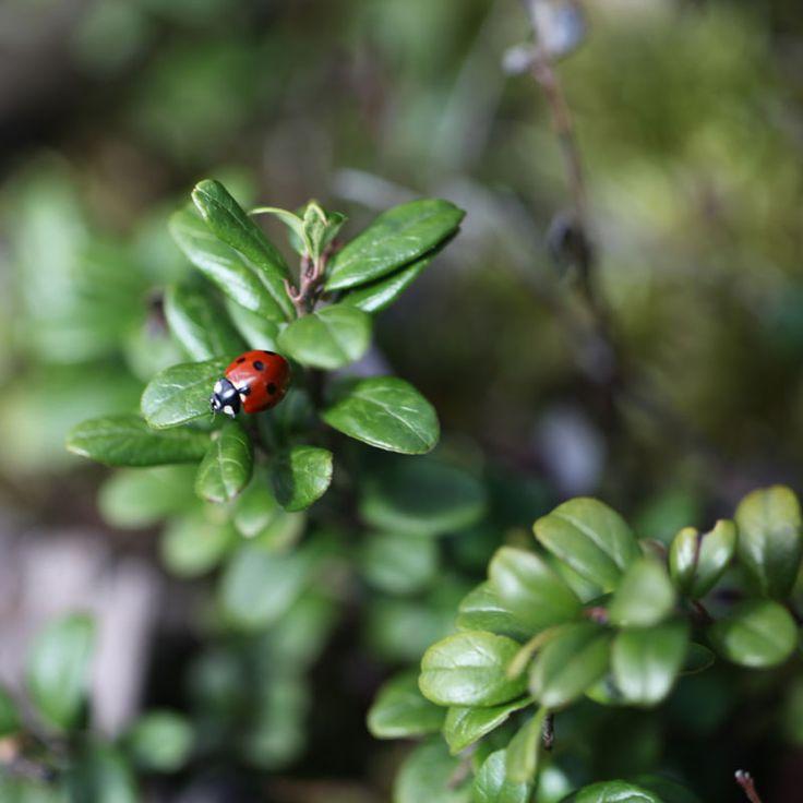 "Ladybug in the forest at hiking path ""Gråstensmon"", Målerås. Nyckelpiga i skogen på vandringsleden ""Gråstensmon"" i Målerås."