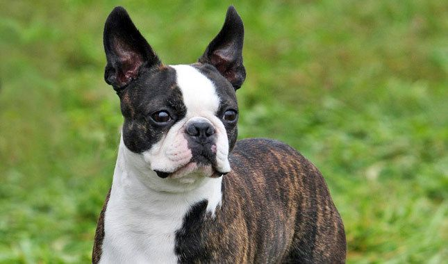 Boston Terrier The Boston Terrier wears a tuxedo coat and a stylin' attitude. He is friendly, portable and enthusiastic in everything he does. He gets along well with kids, other pets and pretty much everyone he meets. All in all, he's a fantastic little companion dog.