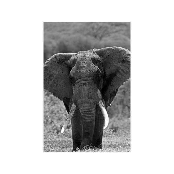 Portrait of an Old African Elephant Bull Photographic Wall Art Print ($42) ❤ liked on Polyvore featuring home, home decor, wall art, african wall art, photographic wall art, elephant wall art, elephant home decor and african home decor