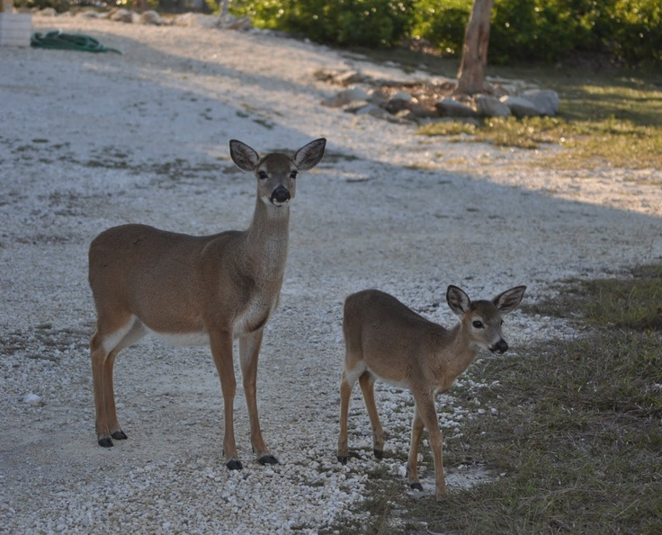 reasons of endangerment of the key deer Photo ani023-00025 the endangered florida key deer's cause wasn't helped  when developers found a loophole and put a housing development inside the.