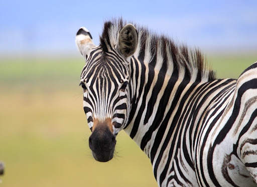 Striped Beauty by Nobby Clarke - Zebra image against a lovely colourful background Click on the image to enlarge.