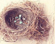 Fotografía de la naturaleza - caprichosa Fotografía - Nido fotografía - Guardería - Nest - Fine Art Photography Print - Neutro Marrón Azul Decoración