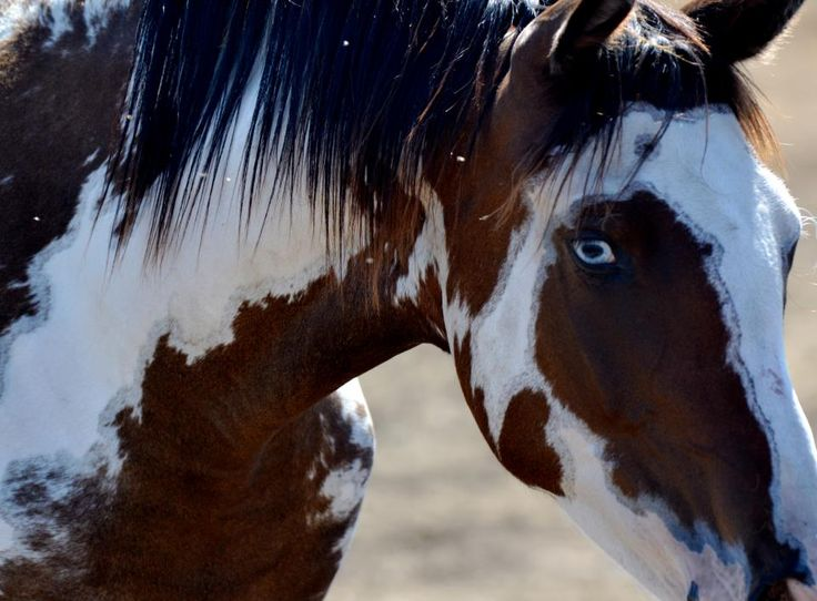 American Paint Horse western quarter paint horse paint pinto horse Gypsy Vanner Indian pony