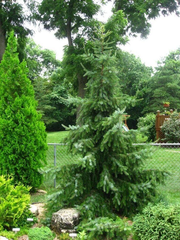 Kigi Nursery - Picea omorika ' Gotelli Weeping '  Pendulous Serbian Spruce, $15.00 (http://www.kiginursery.com/spruces/picea-omorika-gotelli-weeping-pendulous-serbian-spruce/)