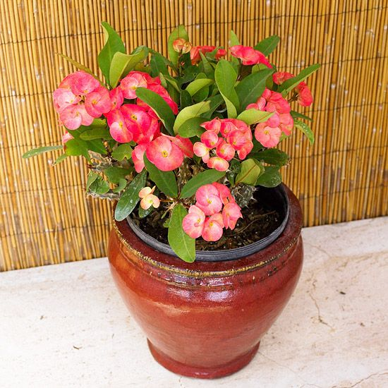 Best 25 crown of thorns plant ideas on pinterest diy for Indoor plant gift ideas