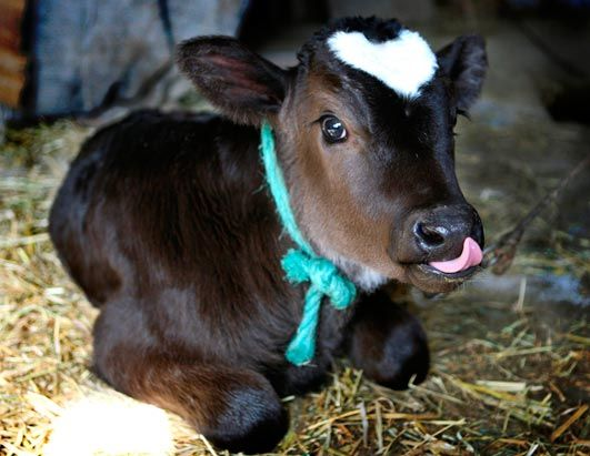 I am crazy for baby animals.   I can't help myself!  Look at the heart on this sweet baby's head!