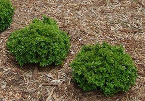 Buxus microphylla var. japonica 'Morris Midget' Morris Midget Boxwood  1x1   sun, part sun, shade