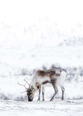 A lonely reindeer in winter land. Available as poster at printler.com, the marketplace for photo art. Photographer Mikael Karlsson.