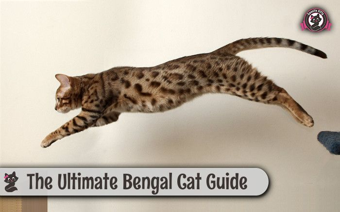 The Ultimate Bengal Cats Guide (Characteristics, Health, Temperament, Personality)