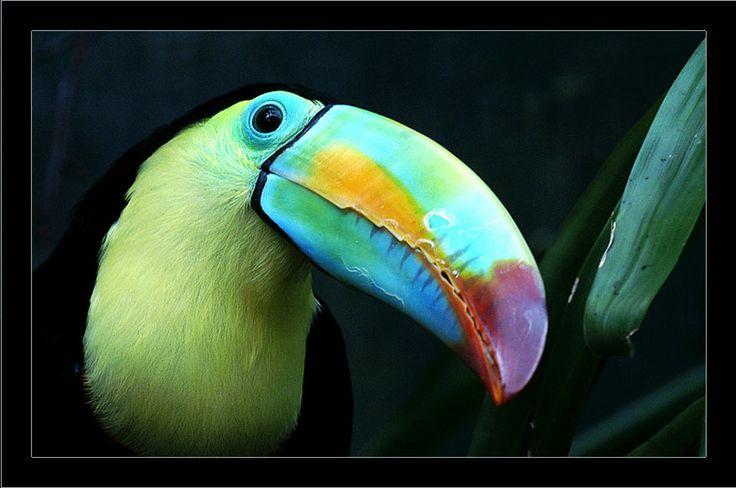 tropische kleuren heeft de toekan blijft altijd mooi