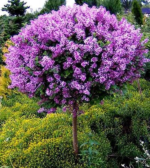 Korean Lilac Tree Korean Lilac Tree Lilac Tree Dwarf