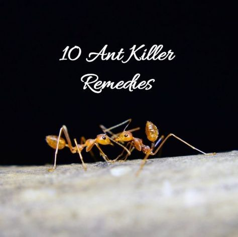 chili as ant killer Detailed article about ant killer / repellant / poison / control learn about chili powder cinnamon the initial step of all ant control processes is to.