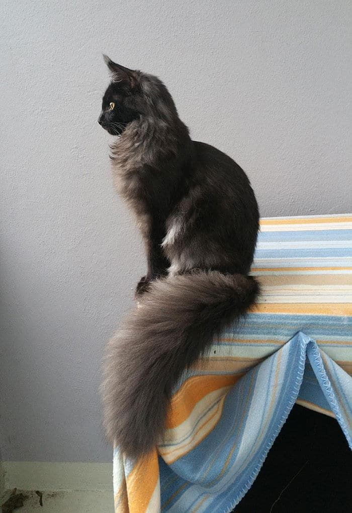 These Cute Maine Coon Kittens Are Really Giants Ready To Develop Up