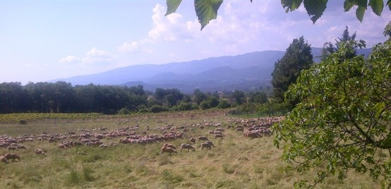 Moutons en pâturage à côté de la bastide. Sheep near the Bastide.