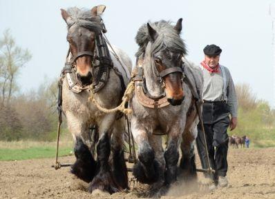 Belgian draft-horse. Belgisch trekpaard. One of my all-time favourite breeds.