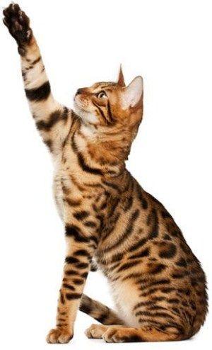 Фотография кошки бенгальской породы Бенгальская кошка – милый домашний наследник леопардовой кошки
