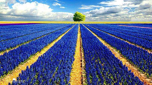 Hyacinth Field, The NetherlandsCor-De-Rosa Photo, Fields Of Flower, Vans, Photos Gallery, Lavender Fields, Trees, Photography Art, Flower Fields, Blue Flower
