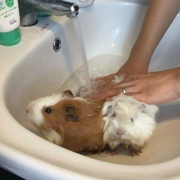 Bath video#guineapigs #cavy #guineapig