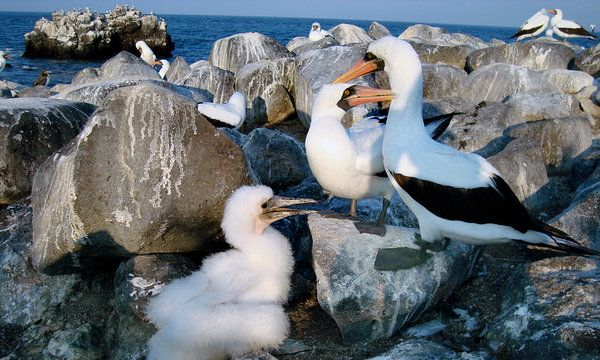 Nazca Boobies with chick - E. Pacific Ocean, primarily Galápagos Islands and Clipperton Island