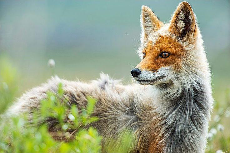 Fotografie: Füchse am Polarkreis: Lebensspanne – San Fran