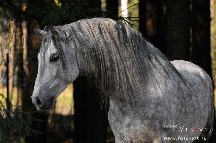 Зингаро, принадлежит Ассоциации андалузов в России