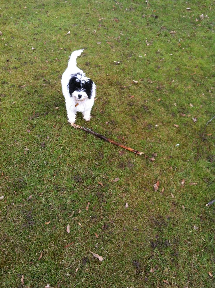 Such a big stick for such a little puppy <3 xo