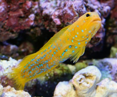 Rare Yellow Blue-Spot Jawfish #rare #reef