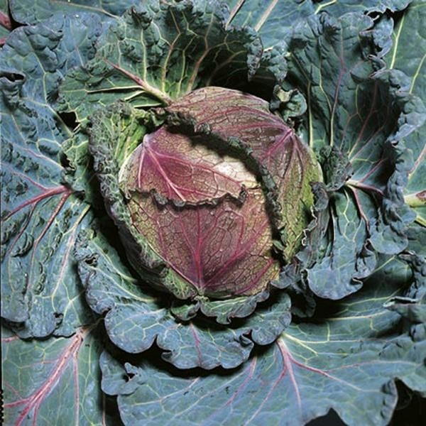 25 Best Ideas About Growing Cabbage On Pinterest: 19 Best Growing Cabbage Images On Pinterest