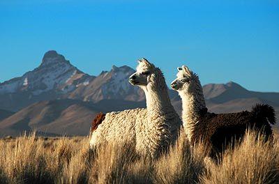 Chile,CORDILLERA DE  LOS ANDES,paisaje con vicuñas(animales autóctonos del  lugar