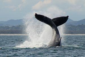 Humpback Whale Tail Throw Whale Watching Byron Bay Australia