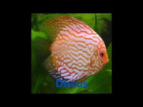 Tudo como cuidar e criar peixes como Betta,Discus,e Cuppy