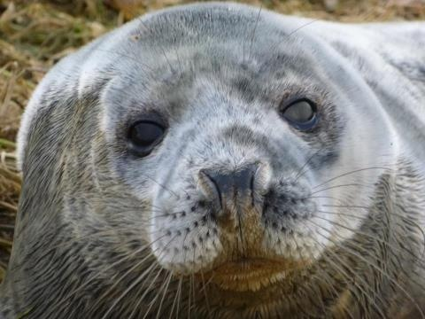 We have Grey Seals here in the Rhins of Galloway (by Kirklauchline Cottage)