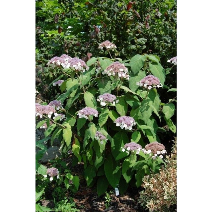 hydrangea_aspera_ssp_sargentiana with my monet weigela