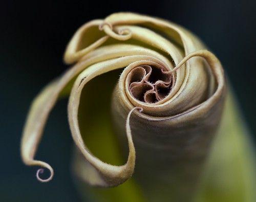 angel trumpet flower   Angel Trumpet Flower   Margaret Barry     MECHA fushigi   mechanism of ...