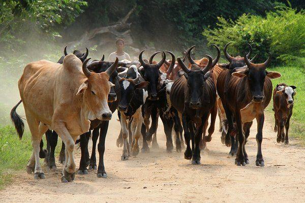 A la rencontre des zébus de Madagascar
