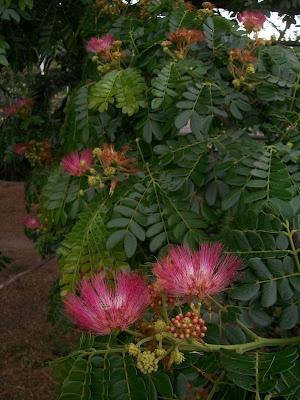La flor del samán, el árbol emblemático del estado Aragua.