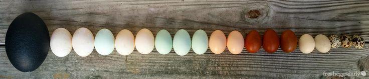 Duck Duck Goose (Chicken Quail Emu) - Egg Identification Chart