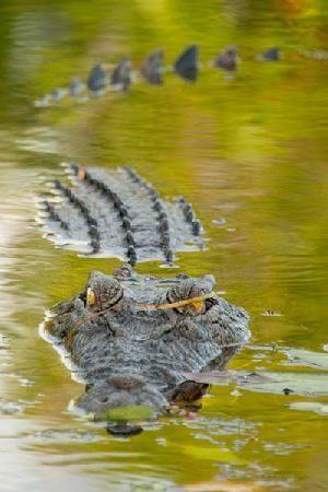Kakadu National Park, Australia: Salt Water Crocodile 3, Yellow Water - Crocodiles in salt water
