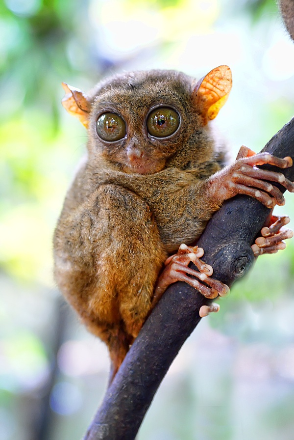 Philippine Tarsier One of the smallest known primates
