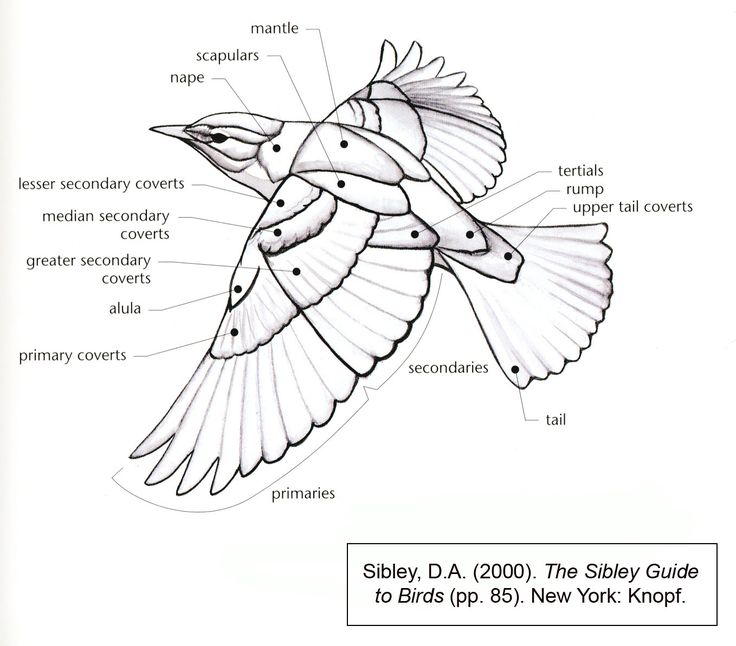 bird wing diagram