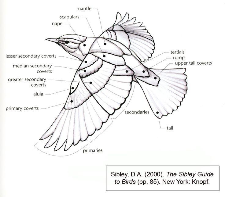 bird flight diagram